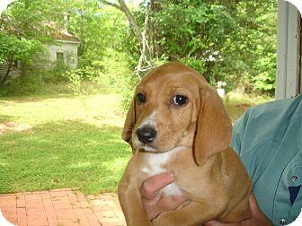 Hound (Unknown Type)/Labrador Retriever Mix Puppy for adoption in Old Bridge, New Jersey - Fawn
