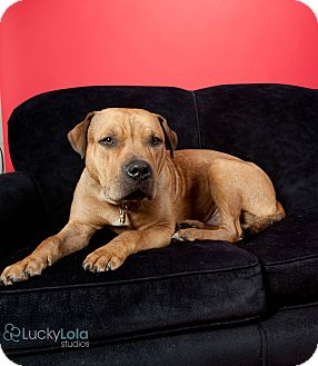 Mastiff Mix Dog for adoption in Columbus, Ohio - Wallace