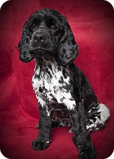Cocker Spaniel Dog for adoption in Rancho Mirage, California - Cooper