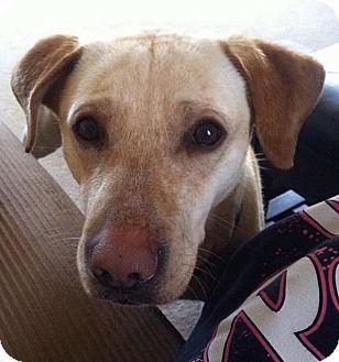 Labrador Retriever Mix Dog for adoption in Plainfield, Connecticut - Johnny