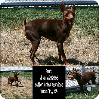 Miniature Pinscher Mix Dog for adoption in Yuba City, California - 05/13 Froto