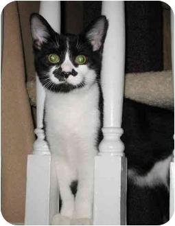 Domestic Shorthair Cat for adoption in Cincinnati, Ohio - Groucho