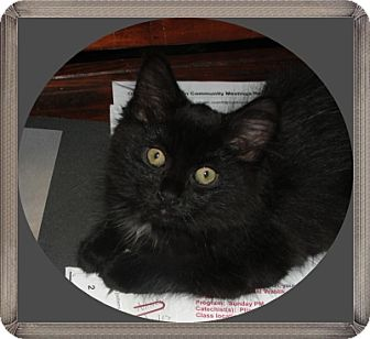 Domestic Mediumhair Kitten for adoption in Mt. Prospect, Illinois - Rebecca