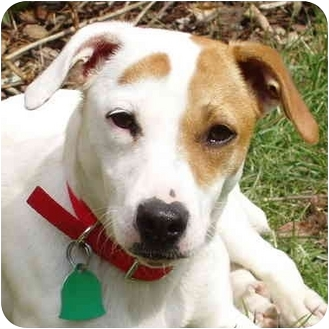 Jack Russell Terrier Mix Dog for adoption in Dunkirk, New York - Shelby