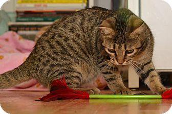 Bengal Cat for adoption in Davis, California - Phoebe