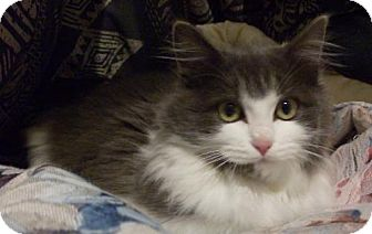 Domestic Mediumhair Cat for adoption in Vancouver, Washington - Wooley