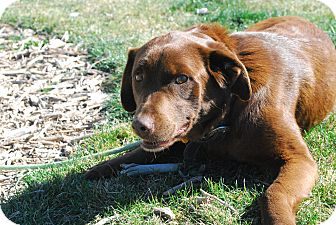 Labrador Retriever Mix Dog for adoption in Twin Falls, Idaho - Bedelia