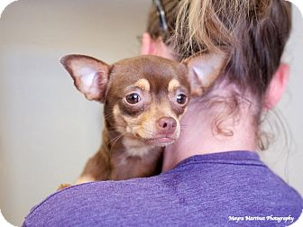 Chihuahua Mix Dog for adoption in Chattanooga, Tennessee - Sugar Brown