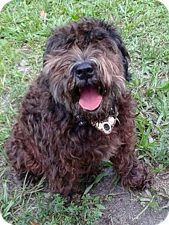 Schnauzer (Standard) Dog for adoption in West Palm Beach, Florida - Clochard