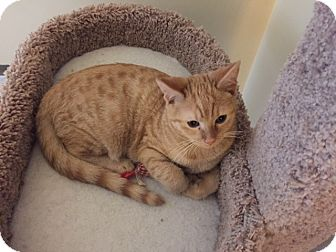 Domestic Shorthair Cat for adoption in Irwin, Pennsylvania - Dancer