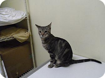 Domestic Shorthair Cat for adoption in Colbert, Georgia - Darcie