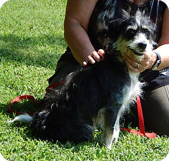 Poodle (Miniature)/Terrier (Unknown Type, Small) Mix Dog for adoption in Niagara Falls, New York - Dexter(18 lb) Close To Perfect