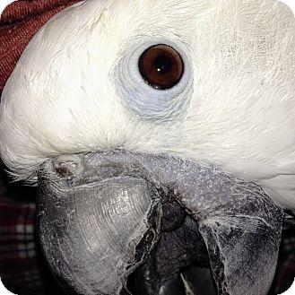 Cockatoo for adoption in Lenexa, Kansas - Aspen