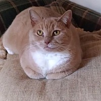 Domestic Shorthair Cat for adoption in Lambertville, New Jersey - Malcolm