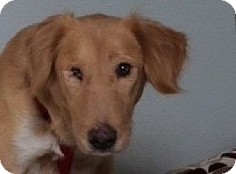 Golden Retriever/Collie Mix Dog for adoption in Pennigton, New Jersey - Kate