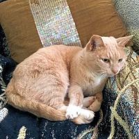 Domestic Mediumhair Cat for adoption in Framingham, Massachusetts - Harley