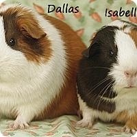 Adopt A Pet :: Dallas & Isabella - Santa Barbara, CA
