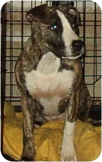 American Pit Bull Terrier Mix Dog for adoption in Baltimore, Maryland - Gracie