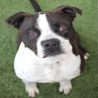 Pit Bull Terrier Dog for adoption in Los Angeles, California - GUINNESS