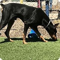 Adopt A Pet :: Tanzer - Sun Valley, CA