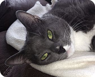 Domestic Shorthair Cat for adoption in Attleboro, Massachusetts - Smokey