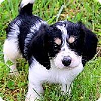 Adopt A Pet :: DREW(PETIT BASSET GRIFFON) - Wakefield, RI