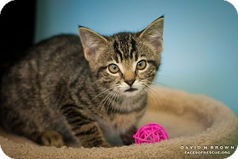 Domestic Shorthair Kitten for adoption in Circleville, Ohio - Pansy