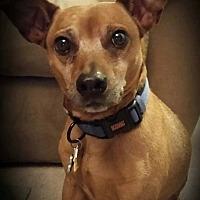 Adopt A Pet :: Paco Dos - Hazelwood, MO