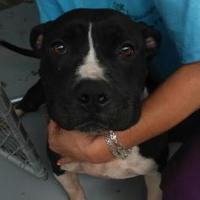 American Staffordshire Terrier Mix Dog for adoption in Savannah, Tennessee - Matty