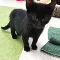 Adopt A Pet :: Midnight - Manteo, NC
