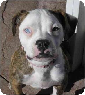 American Bulldog Puppy for adoption in Las Vegas, Nevada - Nani