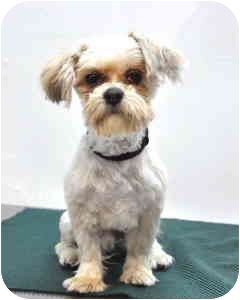 Shih Tzu Dog for adoption in Port Washington, New York - Kringle