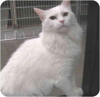 Domestic Longhair Cat for adoption in Mesa, Arizona - Sara
