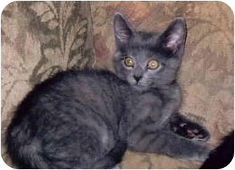 Domestic Shorthair Kitten for adoption in Owatonna, Minnesota - Edward