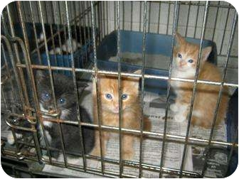 Domestic Shorthair Kitten for adoption in Henderson, North Carolina - Beautiful kittens