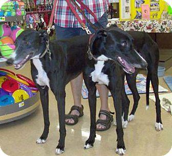 Greyhound Dog for adoption in Tampa, Florida - Josh