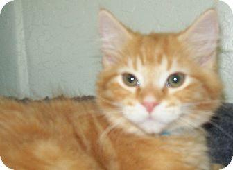 Domestic Longhair Kitten for adoption in Grants Pass, Oregon - Spence