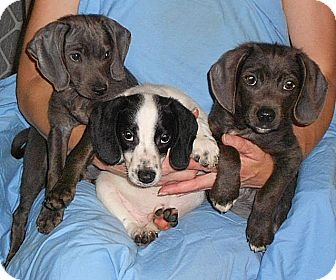 Beagle Mix Puppy for adoption in Howell, Michigan - Beagle mix Boys