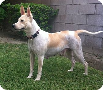 Australian Cattle Dog/German Shepherd Dog Mix Dog for adoption in Cathedral City, California - Sunny