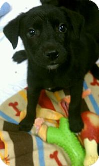 Labrador Retriever Mix Puppy for adoption in Orland Park, Illinois - Lab mix Female #8