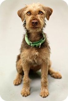 Fox Terrier (Wirehaired)/Terrier (Unknown Type, Small) Mix Dog for adoption in Austin, Texas - Rachel