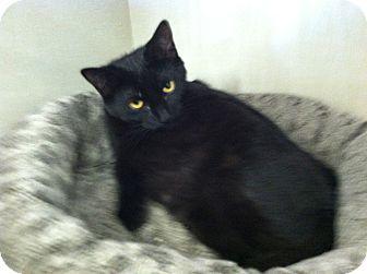 Domestic Shorthair Kitten for adoption in Riverhead, New York - Thunder