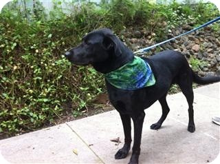 Labrador Retriever Mix Dog for adoption in Torrance, California - Doogie Doug