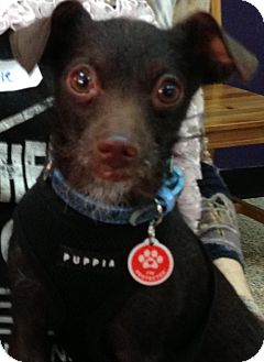 Chihuahua Mix Dog for adoption in Thousand Oaks, California - Prince