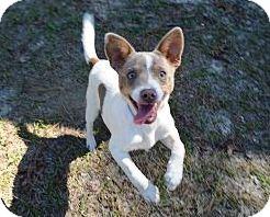 Fox Terrier (Toy)/Rat Terrier Mix Dog for adoption in Brooksville, Florida - 'REECE'