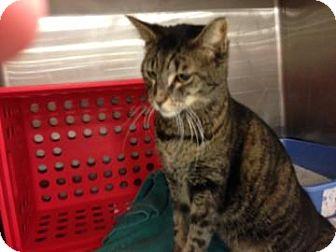 Domestic Shorthair Cat for adoption in Tucson, Arizona - Selleck