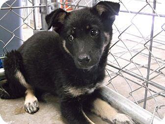 German Shepherd Dog/Australian Shepherd Mix Puppy for adoption in Santa Clara, New Mexico - TheSundance Kid