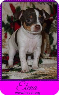 Chihuahua Mix Puppy for adoption in Plano, Texas - Elena