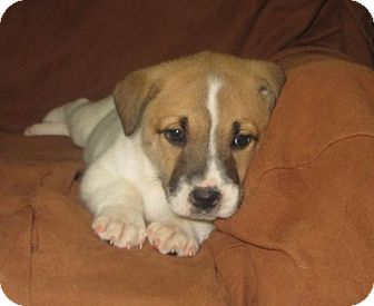 Labrador Retriever/St. Bernard Mix Puppy for adoption in Great Falls, Virginia - Dasher