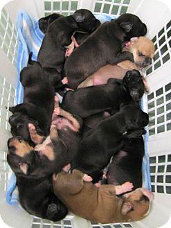 American Bulldog/Labrador Retriever Mix Puppy for adoption in Port St. Joe, Florida - 6 Puppies Female
